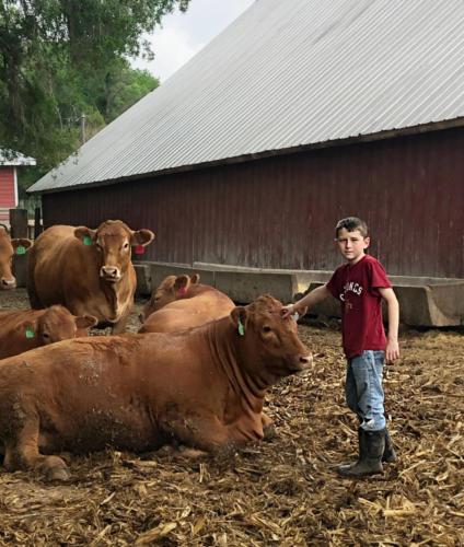 gress cattle